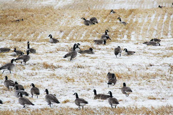 Tips for goose hunting in winter