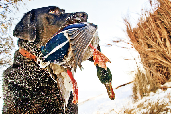 Mallard Hunting Tactics for Colder Weather