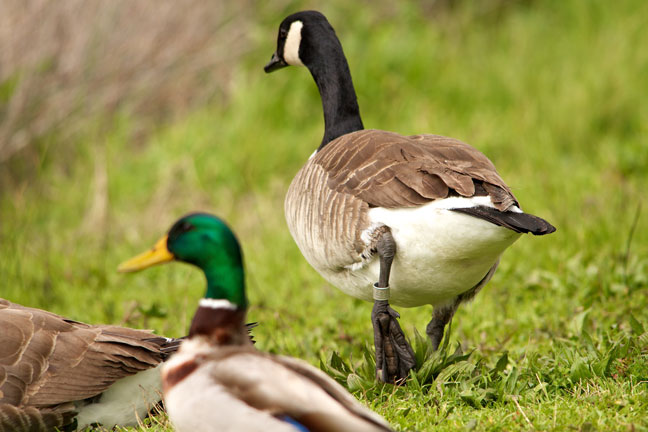 Banded geese, Banded birds