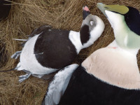Declining Sea Duck Populations