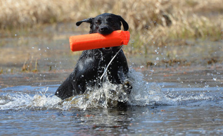 When it comes to gun-proofing, retrieverites have it easier than pointing breed and spaniel owners.