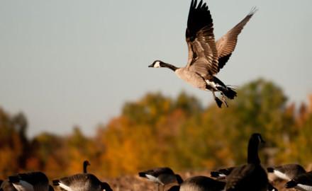 Hunting-ducks-in-Canada