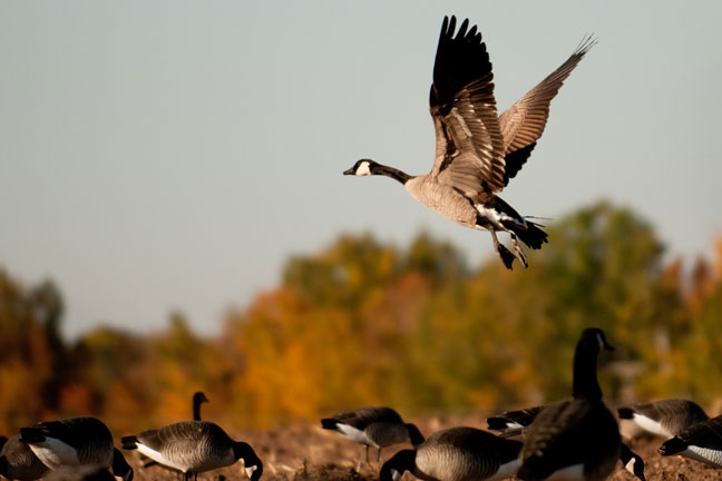 Hunting ducks in Canada