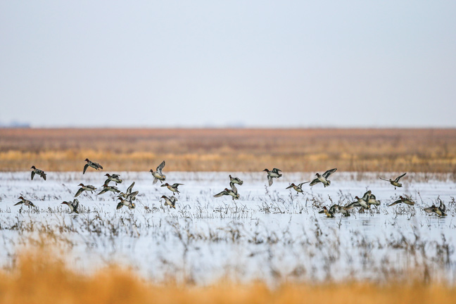 Setting Waterfowl Limits by the USFWS