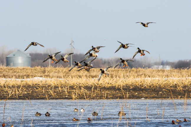 The USFWS Sets New Waterfowl Limits