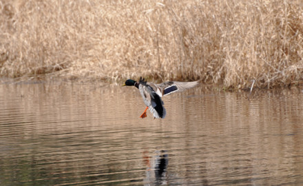 Best tips for duck hunting small water