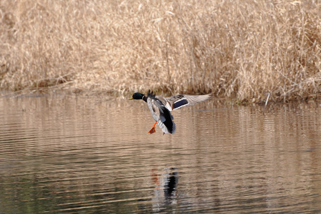 7 Top Reasons to Duck Hunt Small Waters - Wildfowl