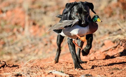 I'll never forget the 2015 duck opener.  After a fruitful morning, my younger dog, Blitz, began