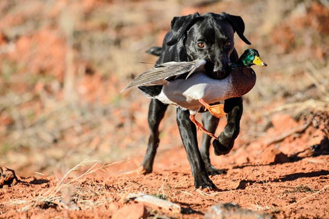 if-your-duck-dog-has-a-seizure