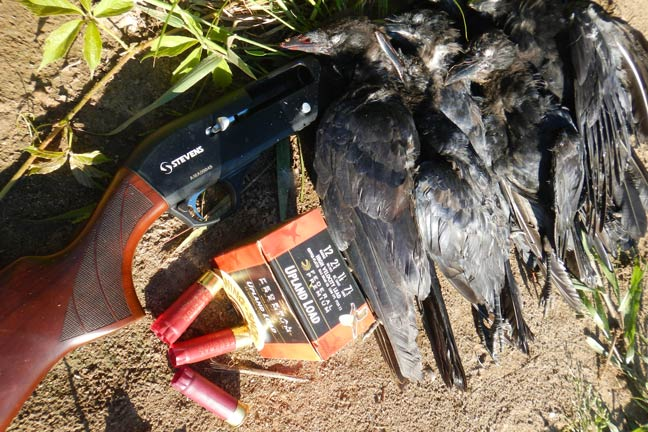 crow-hunting-tactics-and-tips