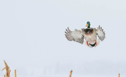 It's not that the mallards aren't showing up anymore. Dave Crolick still sees them from his blind
