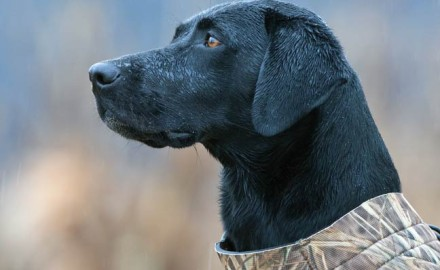 Any reputable dog breeder will tell you: great retrievers come from great genes. That's why they