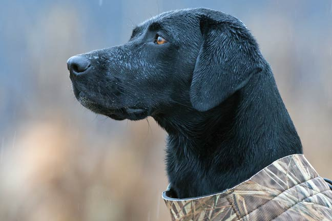 labs-are-family-dogs