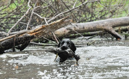 The good and bad of using your retriever to hunt both waterfowl and upland birds. Multi-tasking