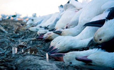Follow these tips for hunting snow geese on your own!