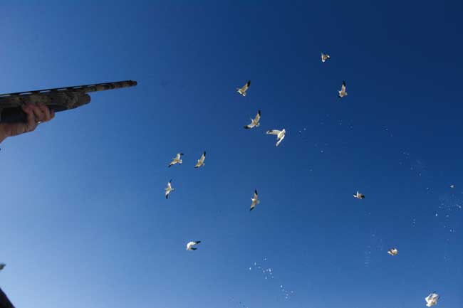 Hunting Snow Geese Solo