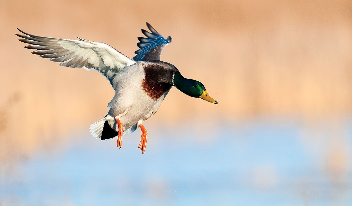 Banded Greenhead Surprises Waterfowler With Its Travels Mallard