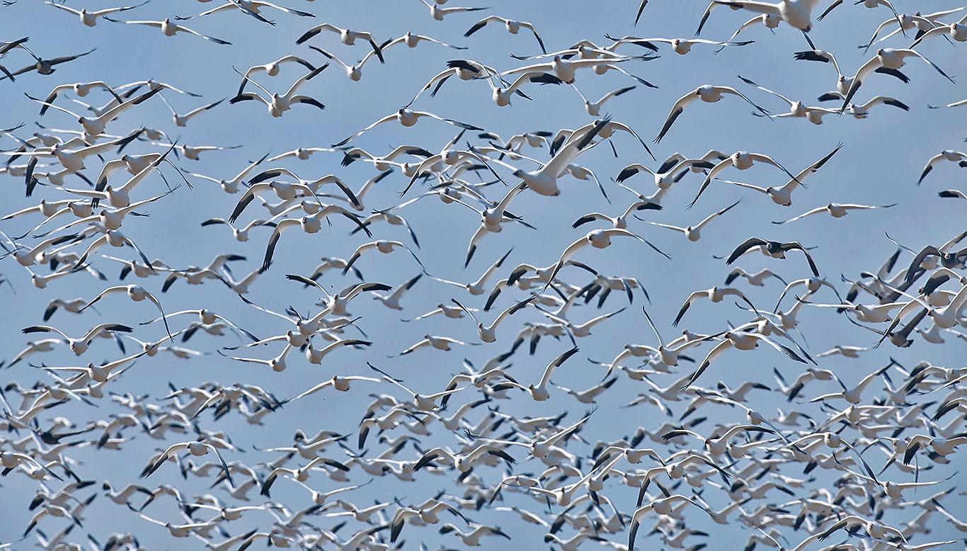 manitoba-canada-waterfowl-white-geese