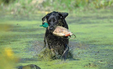 A few key bird-dog accessories and gear can raise your retriever's game.