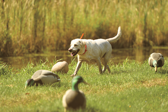 How to Start Over When You Lose a Gun Dog