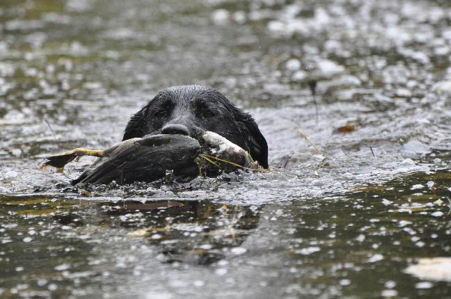Wildfowl-High-Tech-Scouting-Dogs