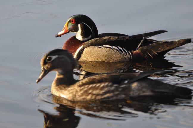 Wildfowl-High-Tech-Scouting-Ducks