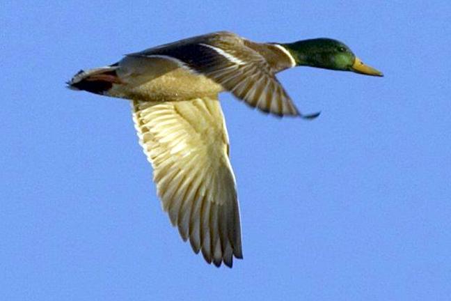 2018-Duck-Numbers-Mallards