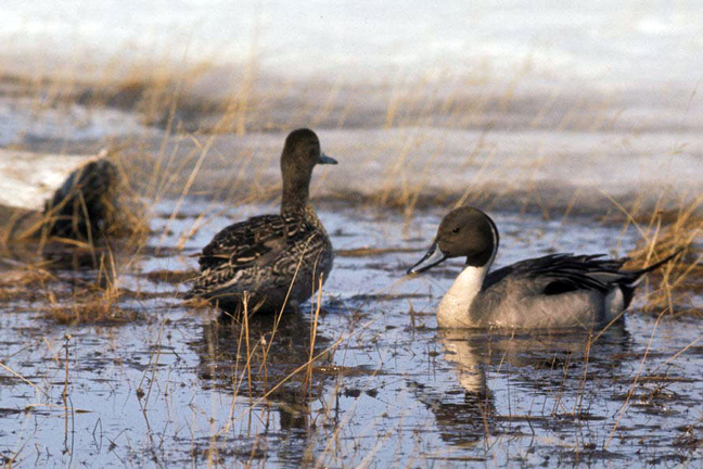 2018-Duck-Numbers-Pintail