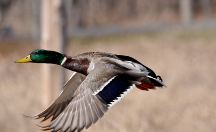 Duck hunting on public land can mean a lot of hunter competition. Follow these tips for upping your odds when you don't have access to private land!