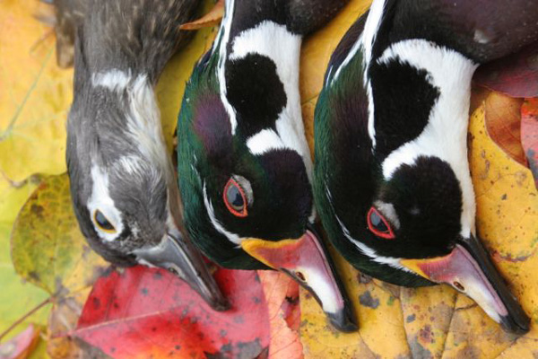 //www.wildfowlmag.com/files/ten-great-places-to-hunt-ducks/wildfowl_dest_ace_basin.jpg