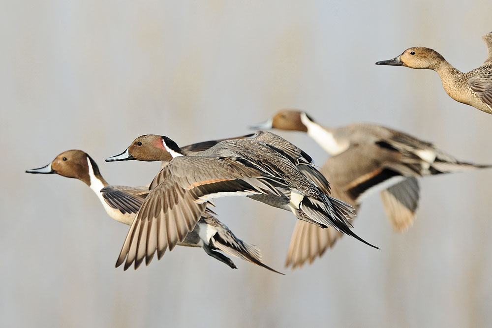 //www.wildfowlmag.com/files/wildfowls-2014-duck-forecast/best_year_forecast_pacific_1.jpg