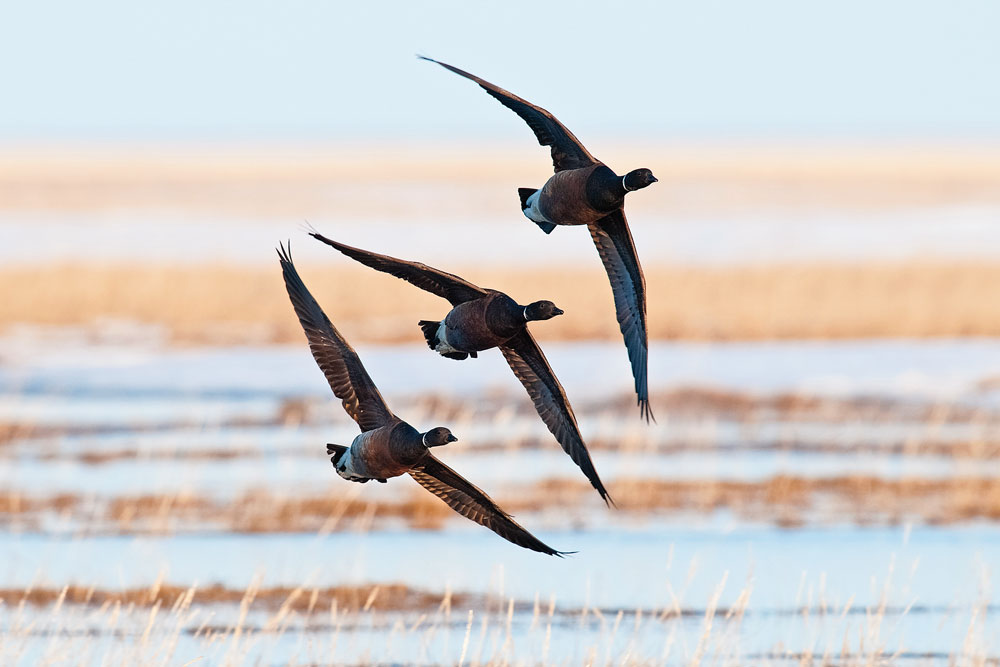 //www.wildfowlmag.com/files/wildfowls-2014-duck-forecast/best_year_forecast_pacific_2.jpg