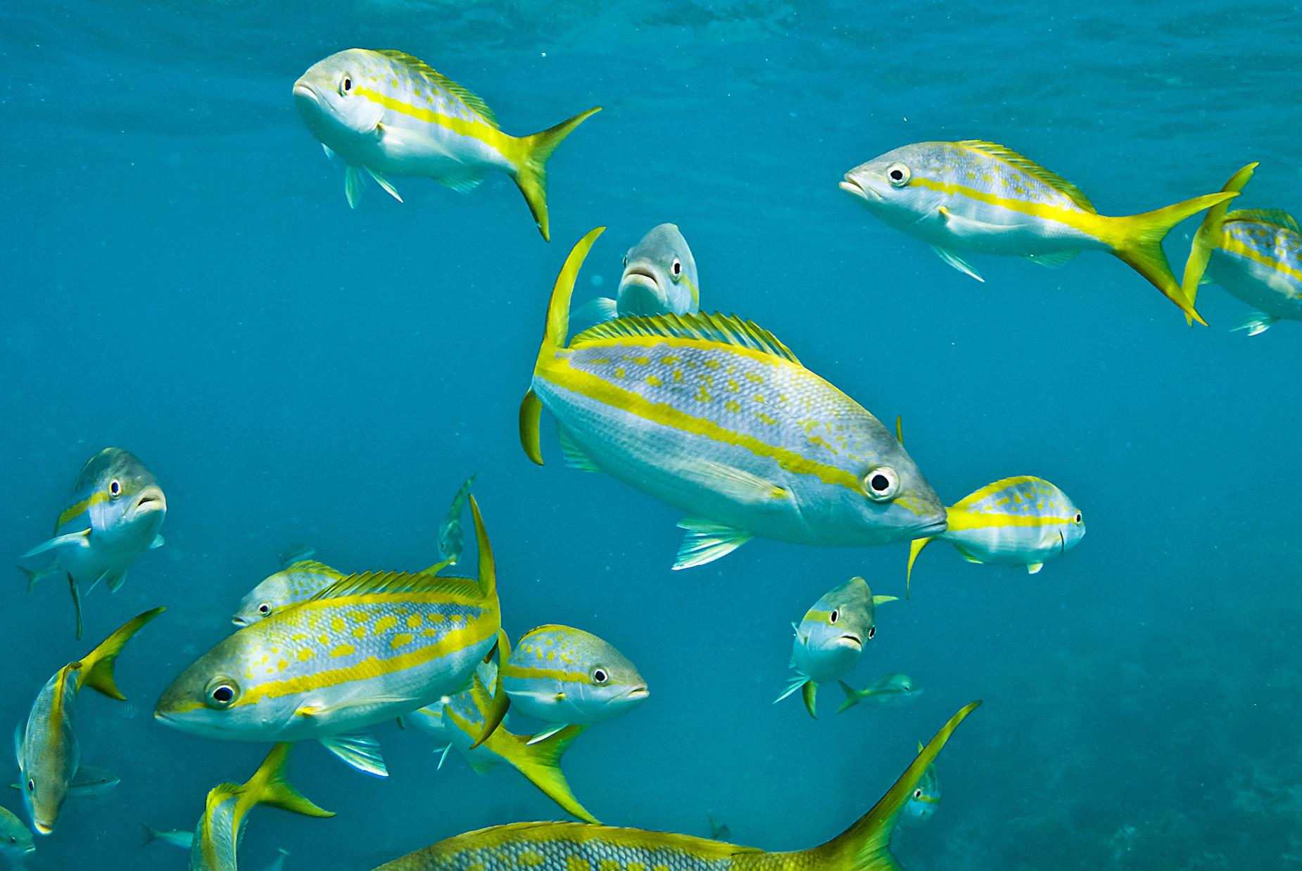 Big game yellowtail fishing in the keys florida sportsman for Yellow tail fish