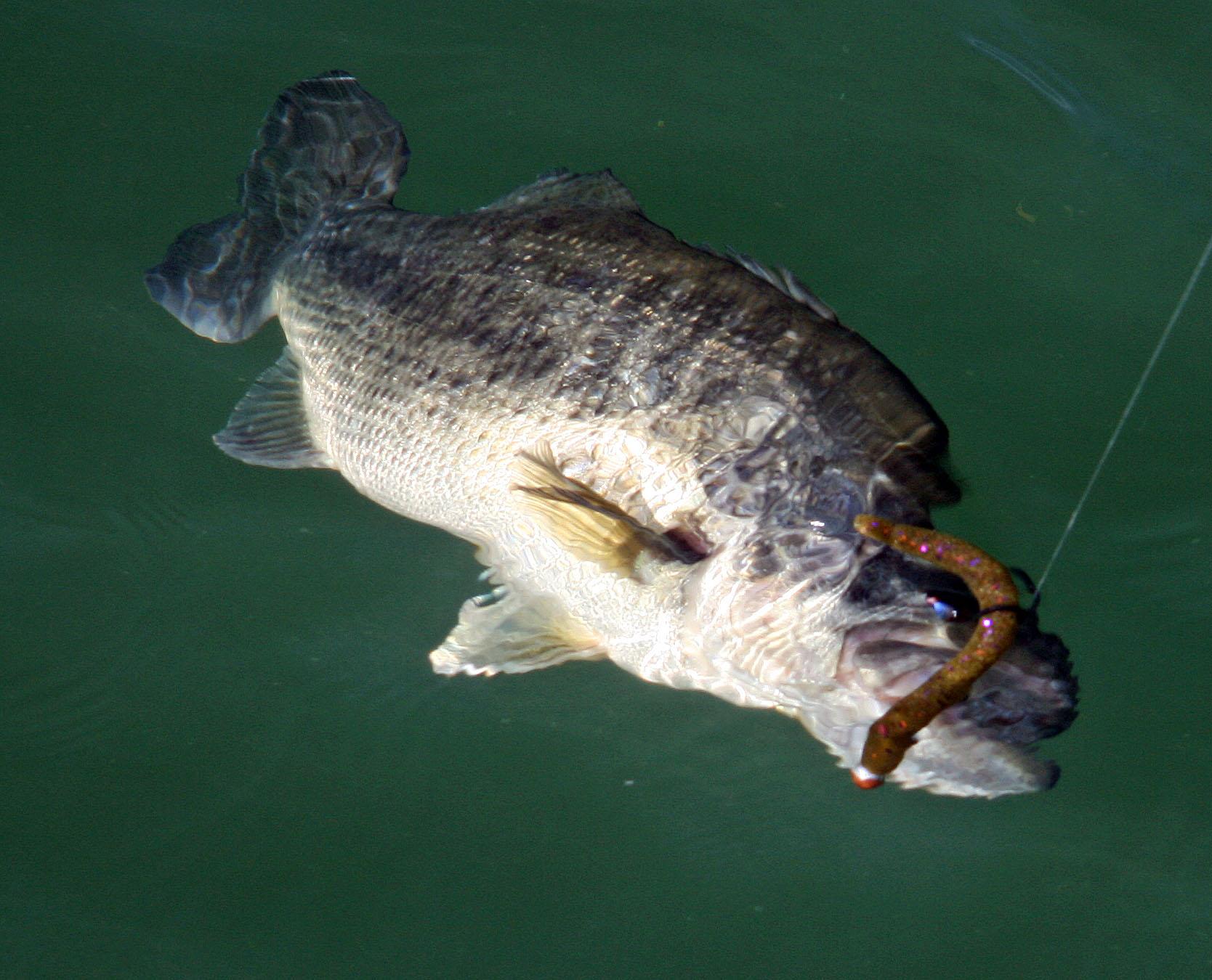 Wacky ways florida sportsman for Deep water bass fishing