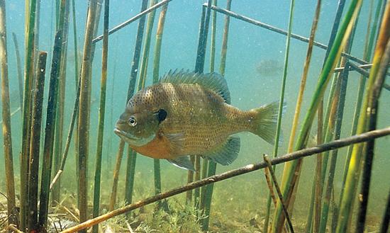 Bluegill Fishing on the Fly - Florida Sportsman