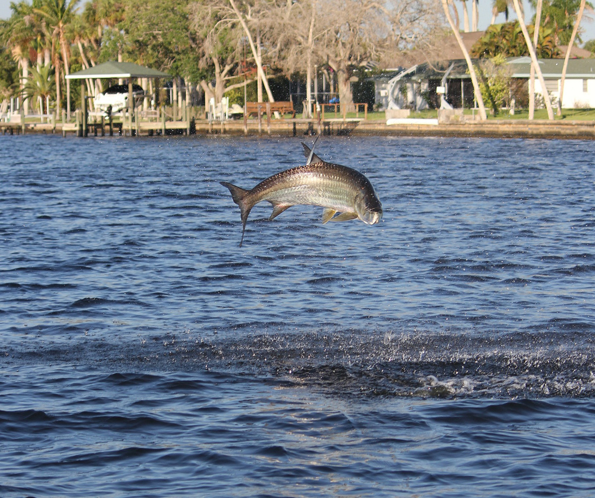 Fish jumping in river images for Caloosahatchee river fishing