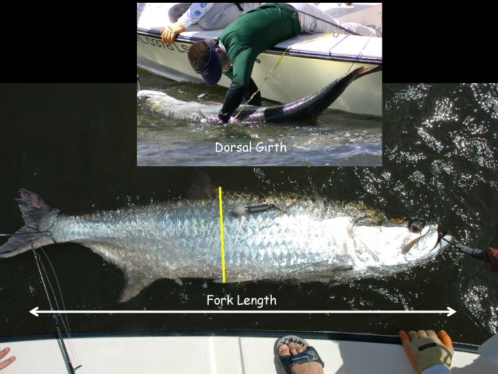 Calculate Your Tarpons Weight Florida Sportsman
