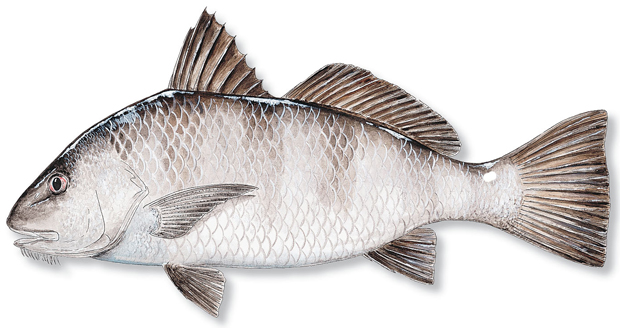 How to catch black drum florida sportsman for Black drum fishing