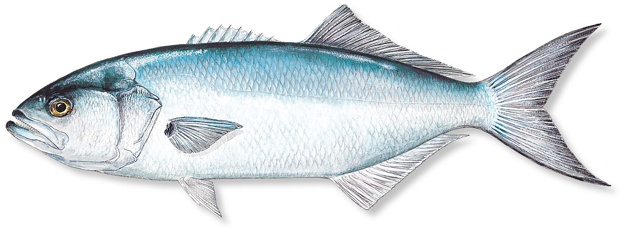 How to catch bluefish florida sportsman for Whiting fish florida