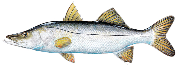 how to catch snook florida sportsman