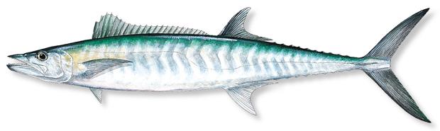 King Mackerel Natasha Charters Aruba