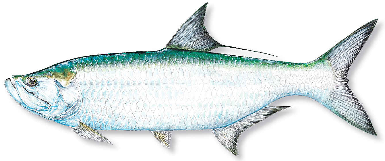 Potential rule changes for the tarpon and bonefish for Blue fish florida