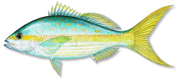 Gulf coast yellowtail snapper florida sportsman for Yellow tail fish