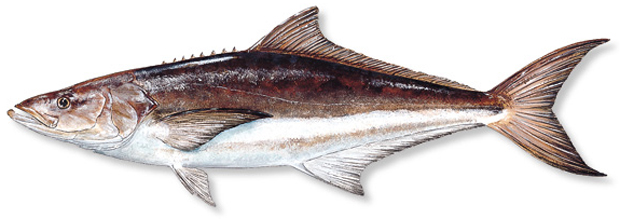 How to catch cobia florida sportsman for How much is a saltwater fishing license in florida