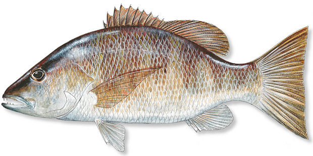 howto catch gray snapper florida sportsman
