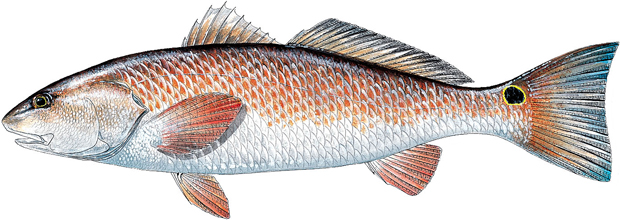 how to catch redfish florida sportsman