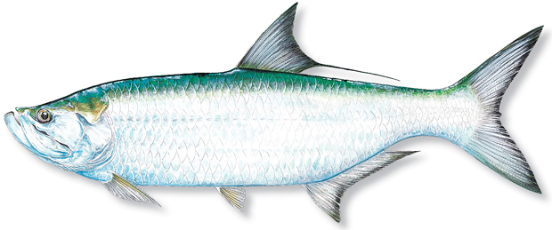 How to catch tarpon florida sportsman for Blue fish florida