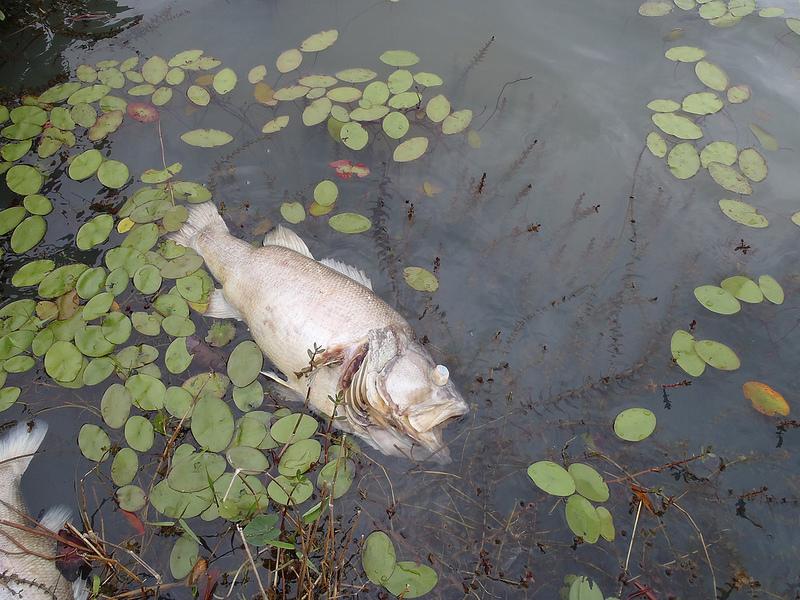Anatomy of a Fish Kill - Florida Sportsman