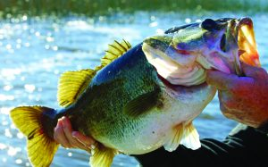 Fwc seeks public input on largemouth bass proposal for Florida fish and wildlife conservation commission