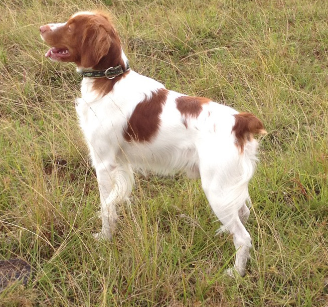 Image of: Bird Hunting Dogs Bird Dog Breeds Quail Forever Bird Dog Breeds Florida Sportsman